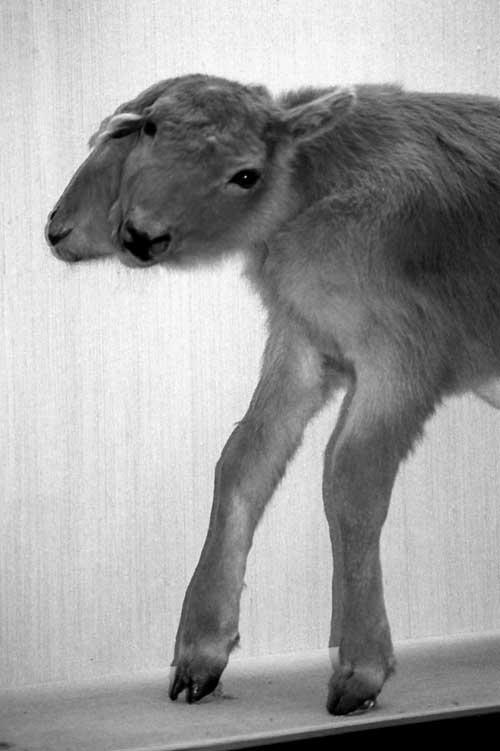 nature-calf