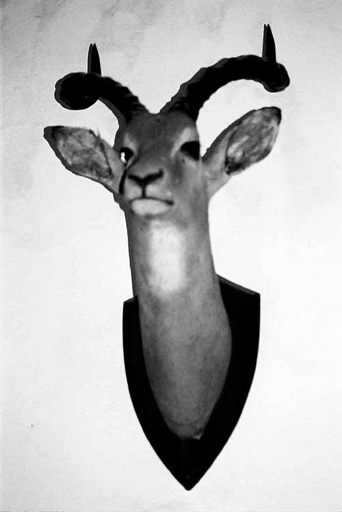 nature-gazelle