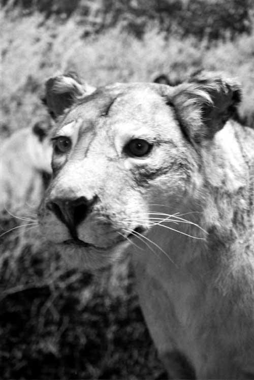 nature-lioness